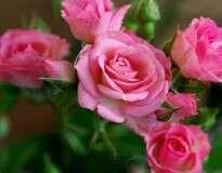 Aprenda a enraizar rosas já cortadas e fazê-las dar flores novamente