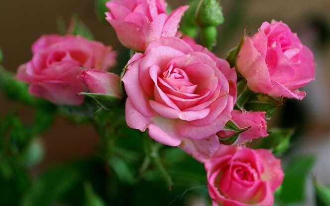 Aprenda como enraizar rosas já cortadas e fazê-las dar flores novamente