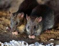 3 truques caseiros bem simples para os ratos ficarem bem distantes do seu lar