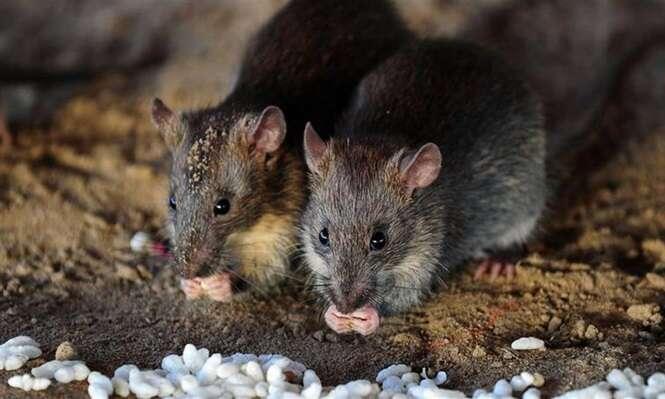 Truques caseiros bem simples para os ratos ficarem bem distantes do seu lar