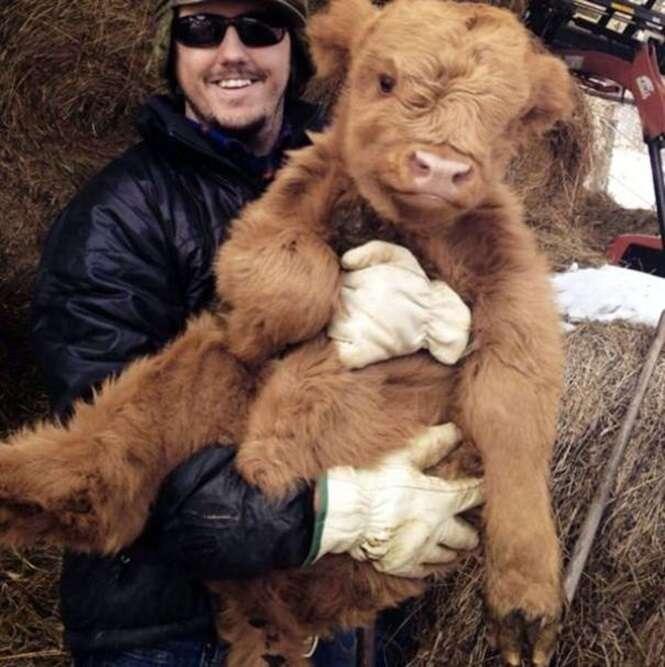 Fotos adoráveis de vacas mostrando que elas são como cães que crescem muito
