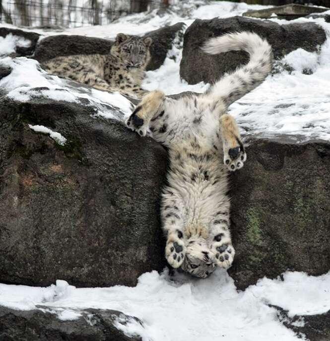 Fotos de adoráveis leopardos-das-neves para comemorar o fato de eles não estarem mais em risco de extinção