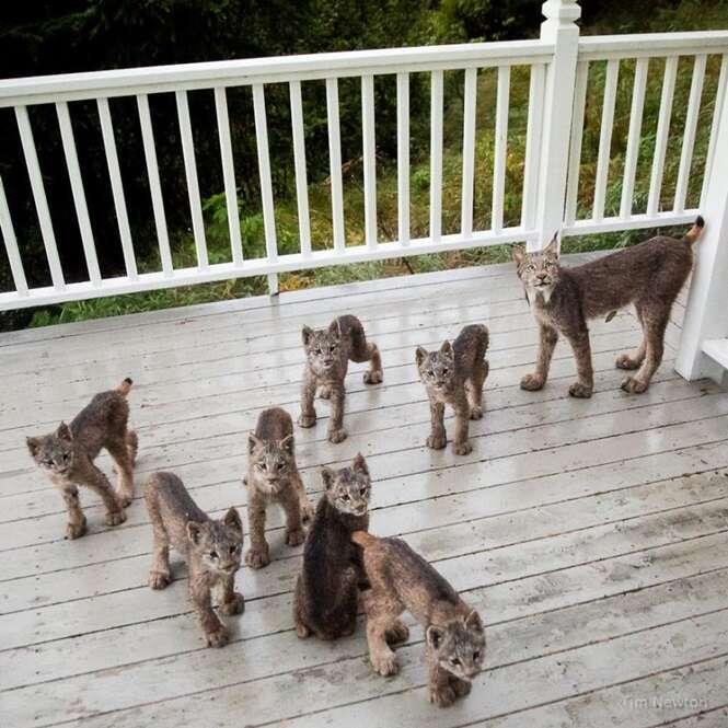 Homem acorda com ruídos estranhos e encontra família de linces brincando em sua varanda