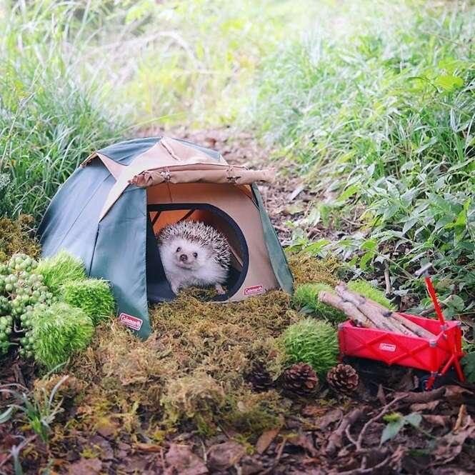 As fotos deste ouriço acampando serão as melhores coisas que você verá hoje