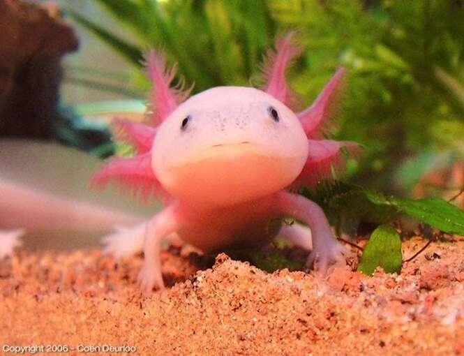 Bichos que são naturalmente cor-de-rosa