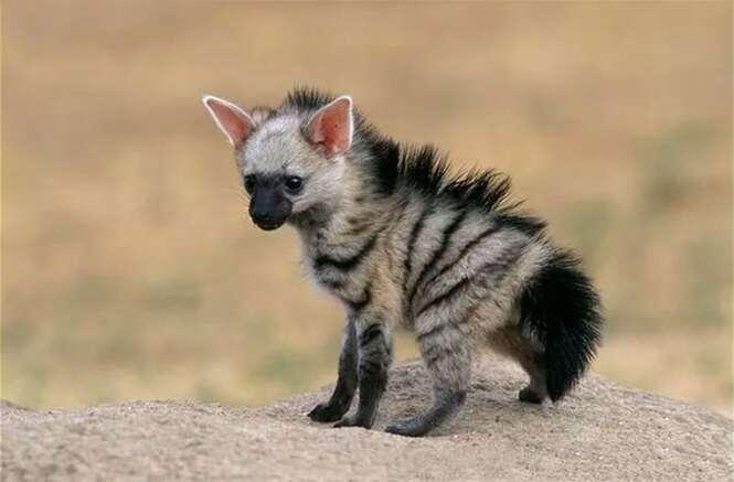 Conheça o Lobo-da-terra, um animalzinho fofo do qual você nunca ouviu falar