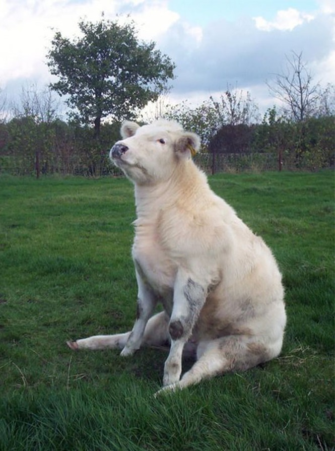 Imagens adoráveis de vacas que vão alegrar o seu dia