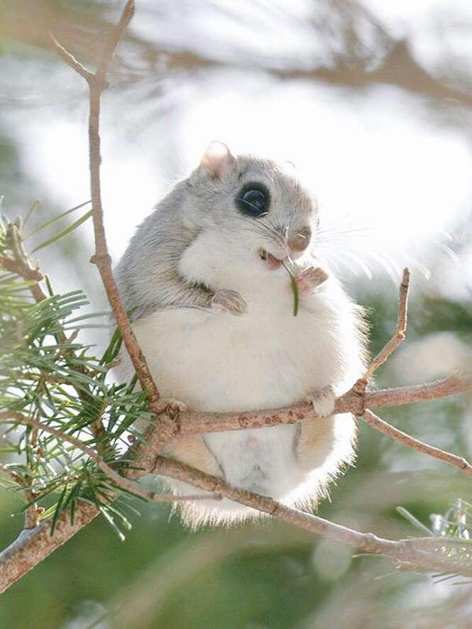 """Esquilos """"voadores"""" do Japão e da Sibéria podem ser as coisas mais fofas que você verá hoje"""