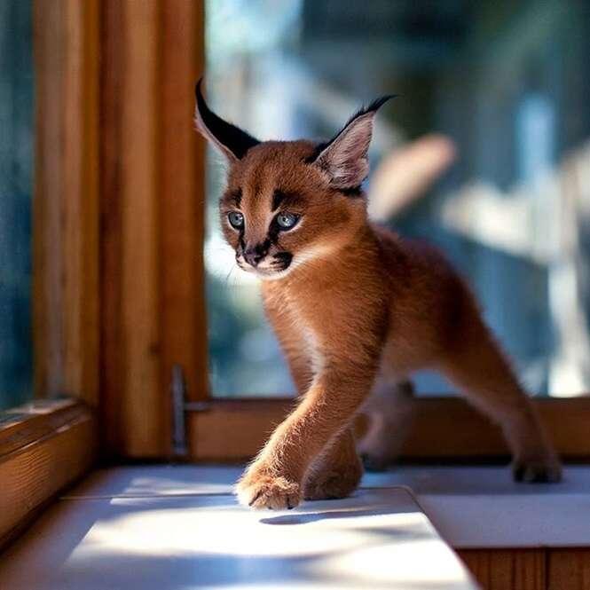 Fotos de exemplares da mais linda espécie de gatos que existe