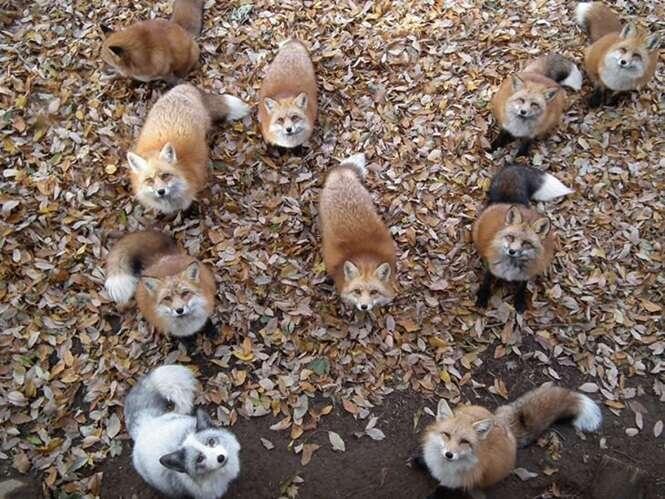 Esta 'vila' de raposas é certamente um dos locais mais fofos de todo o planeta