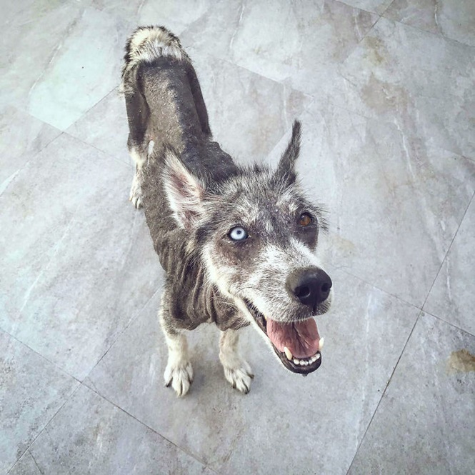 Após ser resgatado, Husky passa por transformação impressionante e fica irreconhecível