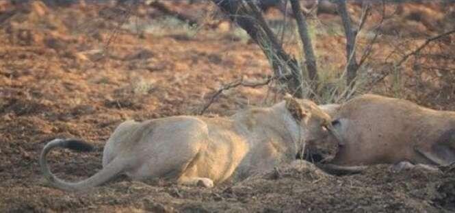 A surpreendente reação de uma leoa ao descobrir que sua presa tinha um filhote