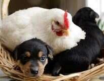 15 imagens provando que as galinhas estão entre as melhores mães do reino animal