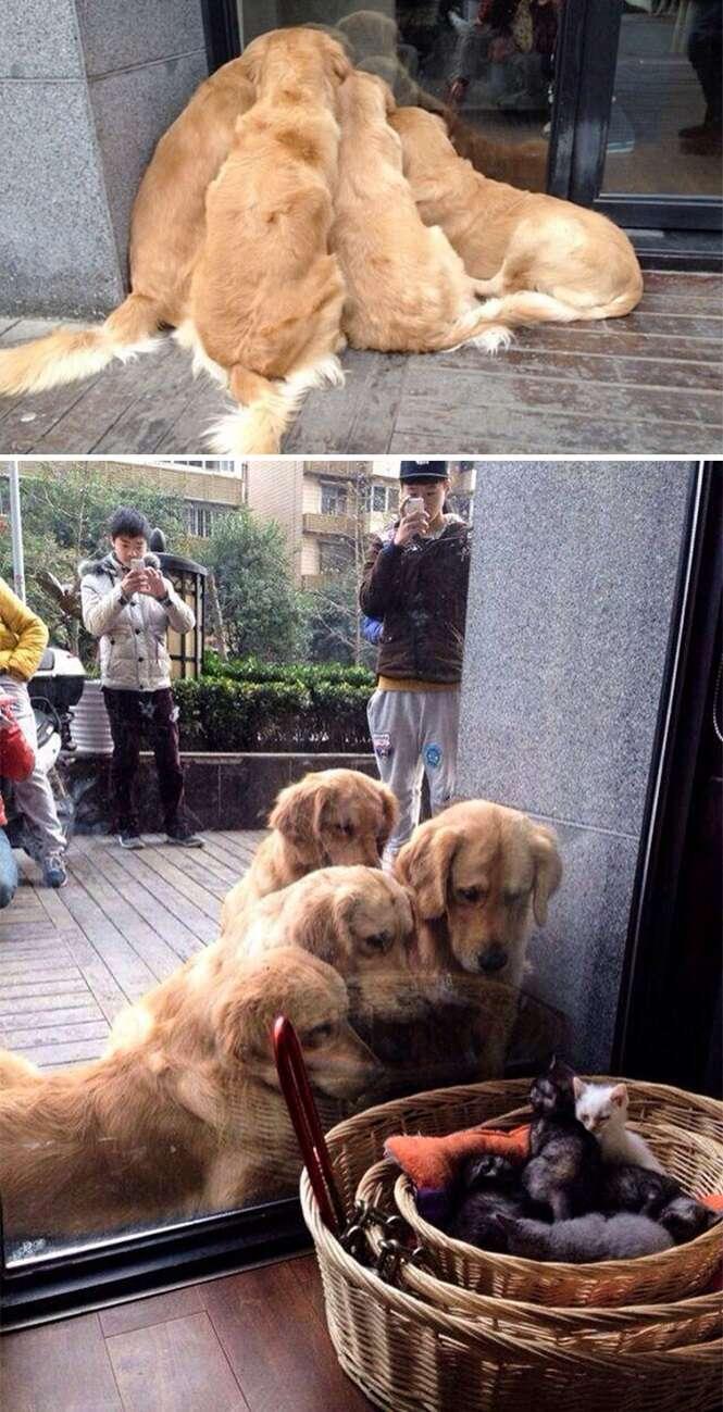 Vezes em que Labradores e Goldens mostraram que são tudo de bom