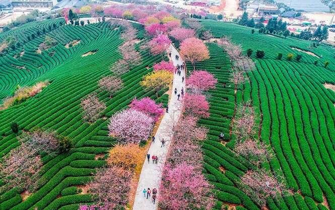 Cerejeiras florescem na China e proporcionam cenas incríveis