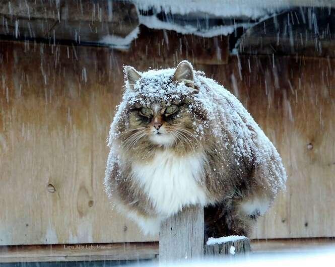 Conheça fazenda da Sibéria onde vivem gatos majestosos