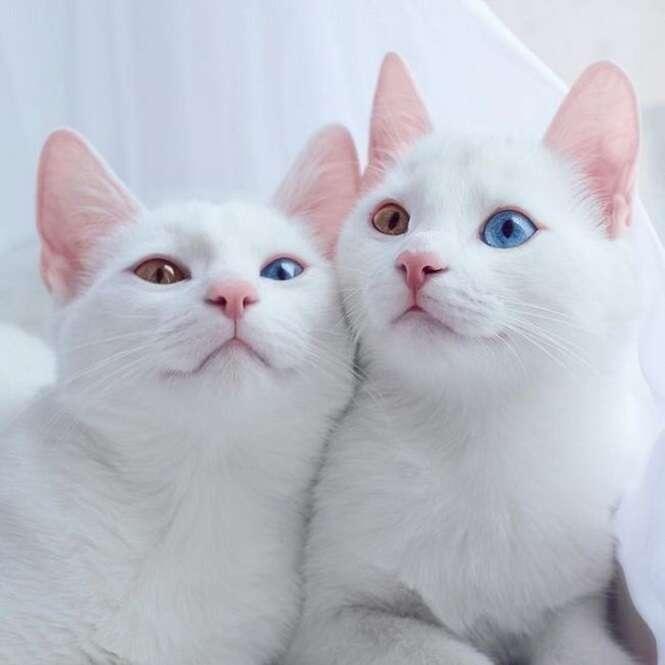 Estes gatos de olhos bicolores certamente estão entre os felinos mais lindos do planeta