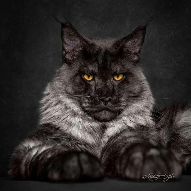 Fotógrafo registra a beleza de felinosMaine Coon, uma das maiores raças de gatos do planeta