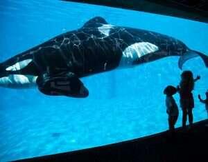 Conheça Kiska, a baleia mais solitária do mundo que vive sozinha em um tanque há 10 anos